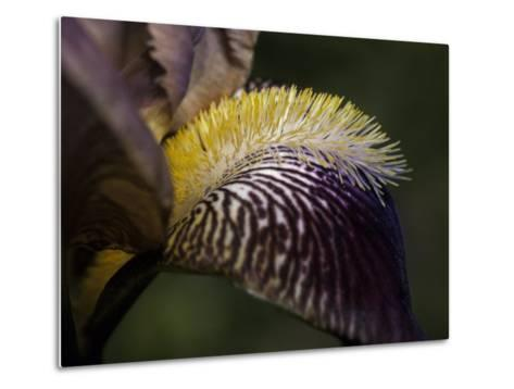 The Intricate Markings of a Purple Orchid Petal and Yellow Stamen, Australia-Jason Edwards-Metal Print