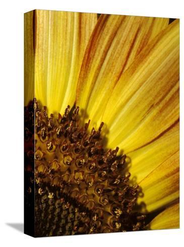 The Vibrant Golden Yellow of a Sunflower Petal and Stamen Detail, North Carlton, Australia-Jason Edwards-Stretched Canvas Print