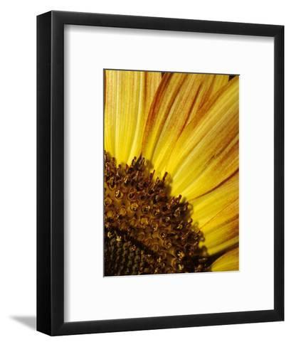 The Vibrant Golden Yellow of a Sunflower Petal and Stamen Detail, North Carlton, Australia-Jason Edwards-Framed Art Print