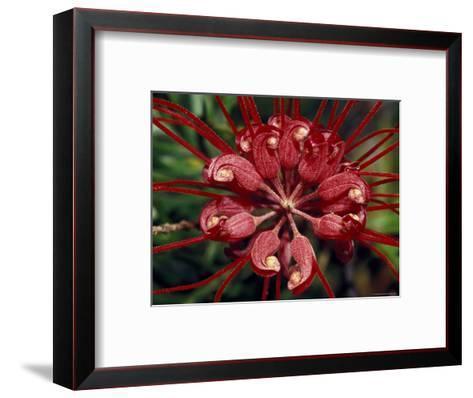 Startling Bright Red Grevillea Flower Petals, Pollen and Stamen, North Carlton, Australia-Jason Edwards-Framed Art Print