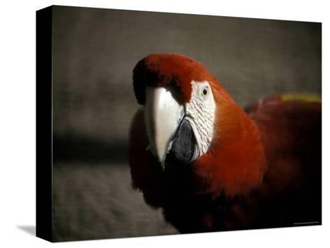 The Bright Red Feathers of Scarlet Macaw, Melbourne Zoo, Australia-Jason Edwards-Stretched Canvas Print