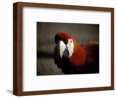 The Bright Red Feathers of Scarlet Macaw, Melbourne Zoo, Australia-Jason Edwards-Framed Art Print