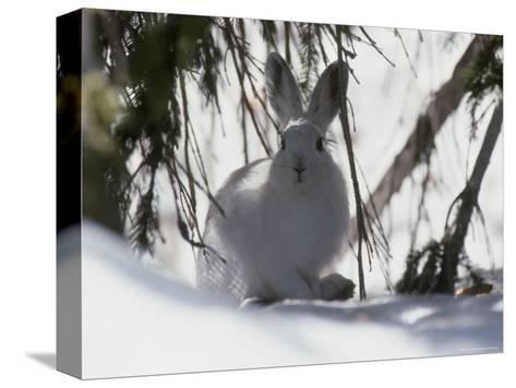 Snowshoe Hare Pauses under a Fur Tree in the Snow, Colorado-Kate Thompson-Stretched Canvas Print