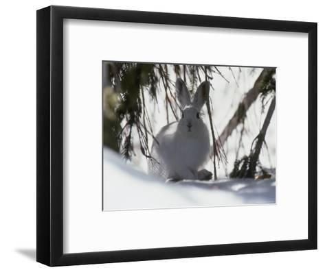 Snowshoe Hare Pauses under a Fur Tree in the Snow, Colorado-Kate Thompson-Framed Art Print
