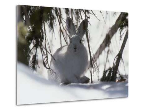 Snowshoe Hare Pauses under a Fur Tree in the Snow, Colorado-Kate Thompson-Metal Print