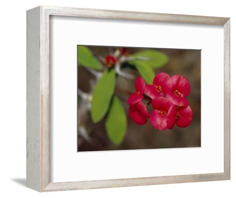 The Deep Red Petals of a Cacti Succulent Flower, Australia-Jason Edwards-Framed Art Print