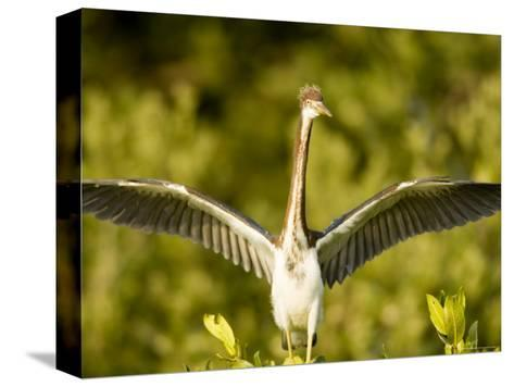 Tricolored Heron About to Take Flight, Tampa Bay, Florida-Tim Laman-Stretched Canvas Print