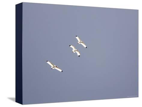 Three White Ibises White Ibis Soar over Tampa Bay-Tim Laman-Stretched Canvas Print
