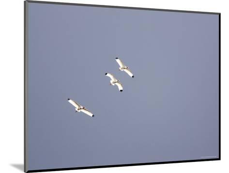 Three White Ibises White Ibis Soar over Tampa Bay-Tim Laman-Mounted Photographic Print