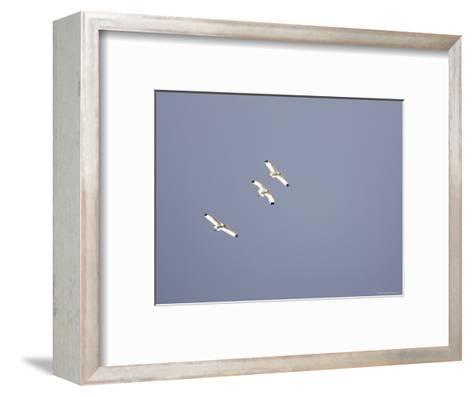 Three White Ibises White Ibis Soar over Tampa Bay-Tim Laman-Framed Art Print