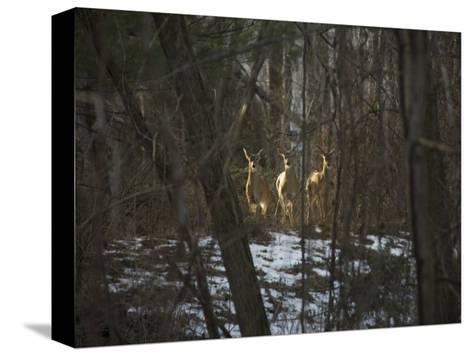 Trio of Wild Does Pause in a Spot of Sunlight-Stephen St^ John-Stretched Canvas Print
