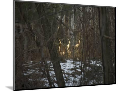 Trio of Wild Does Pause in a Spot of Sunlight-Stephen St^ John-Mounted Photographic Print