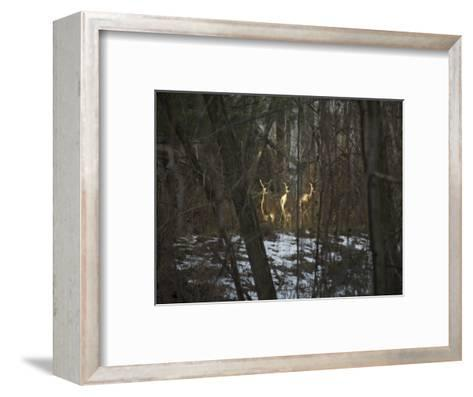 Trio of Wild Does Pause in a Spot of Sunlight-Stephen St^ John-Framed Art Print