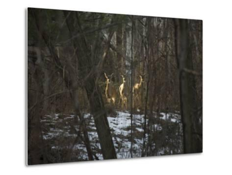 Trio of Wild Does Pause in a Spot of Sunlight-Stephen St^ John-Metal Print