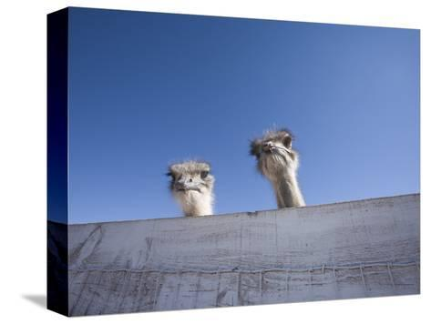 Two Ostrich Looking over a Fence, Arizona-John Burcham-Stretched Canvas Print