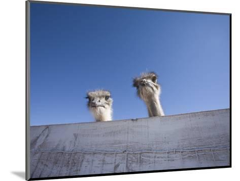 Two Ostrich Looking over a Fence, Arizona-John Burcham-Mounted Photographic Print