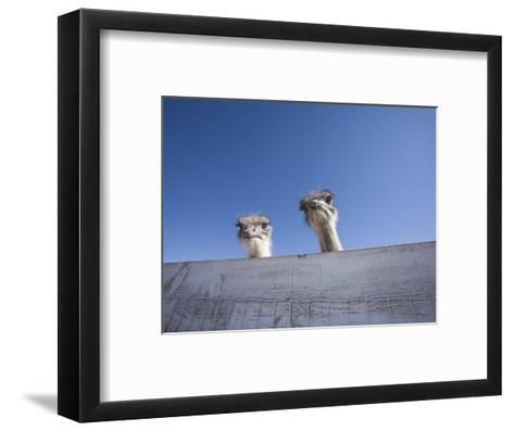 Two Ostrich Looking over a Fence, Arizona-John Burcham-Framed Art Print