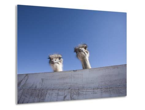 Two Ostrich Looking over a Fence, Arizona-John Burcham-Metal Print