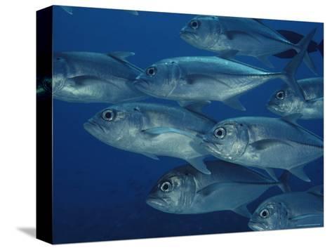 School of Bigeye Trevally Fish-Bill Curtsinger-Stretched Canvas Print