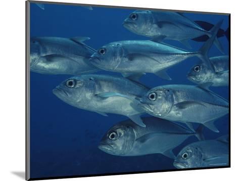 School of Bigeye Trevally Fish-Bill Curtsinger-Mounted Photographic Print