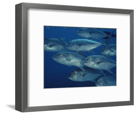 School of Bigeye Trevally Fish-Bill Curtsinger-Framed Art Print