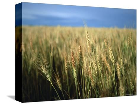 Winter Wheat in Linn, Kansas-Joel Sartore-Stretched Canvas Print