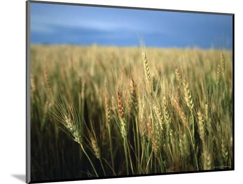 Winter Wheat in Linn, Kansas-Joel Sartore-Mounted Photographic Print