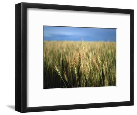 Winter Wheat in Linn, Kansas-Joel Sartore-Framed Art Print