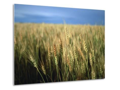 Winter Wheat in Linn, Kansas-Joel Sartore-Metal Print