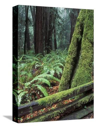 Winter Greenery in the Redwood Forest, California-Rich Reid-Stretched Canvas Print