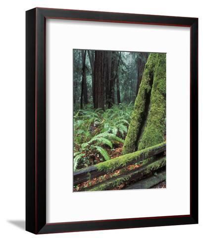 Winter Greenery in the Redwood Forest, California-Rich Reid-Framed Art Print