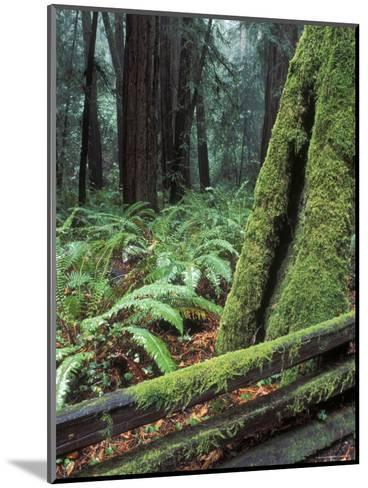 Winter Greenery in the Redwood Forest, California-Rich Reid-Mounted Photographic Print