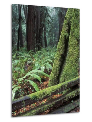 Winter Greenery in the Redwood Forest, California-Rich Reid-Metal Print