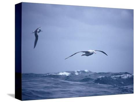 Wandering Albatross Gliding in Flight over the Ocean Surface, Australia-Jason Edwards-Stretched Canvas Print