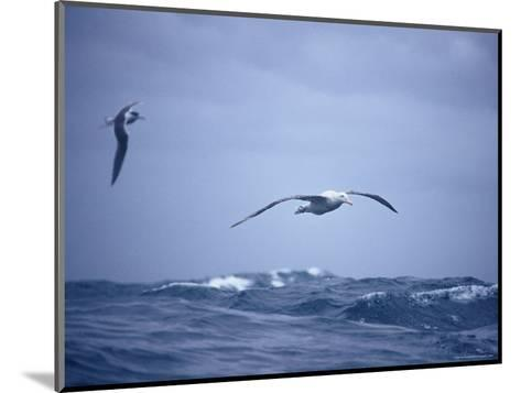 Wandering Albatross Gliding in Flight over the Ocean Surface, Australia-Jason Edwards-Mounted Photographic Print