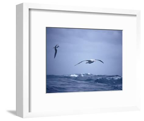 Wandering Albatross Gliding in Flight over the Ocean Surface, Australia-Jason Edwards-Framed Art Print
