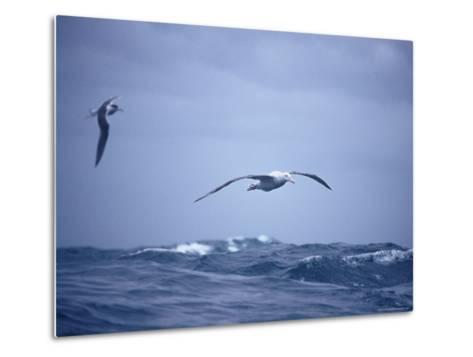 Wandering Albatross Gliding in Flight over the Ocean Surface, Australia-Jason Edwards-Metal Print