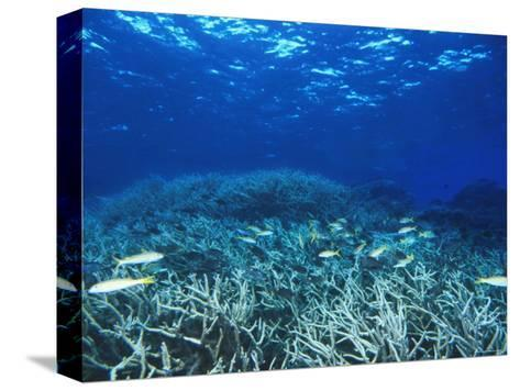 Yellowfin Goatfih, Mulloides Vanicolensis Swimming over Staghorn Coral-James Forte-Stretched Canvas Print