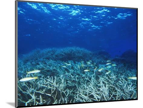 Yellowfin Goatfih, Mulloides Vanicolensis Swimming over Staghorn Coral-James Forte-Mounted Photographic Print