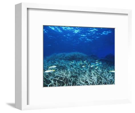Yellowfin Goatfih, Mulloides Vanicolensis Swimming over Staghorn Coral-James Forte-Framed Art Print