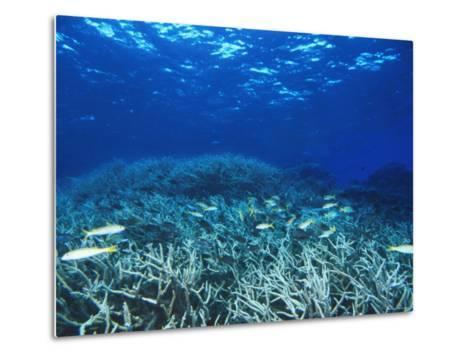 Yellowfin Goatfih, Mulloides Vanicolensis Swimming over Staghorn Coral-James Forte-Metal Print
