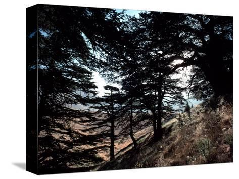 View Through the Branches of Lebanon's Famous Cedar Trees-Ira Block-Stretched Canvas Print
