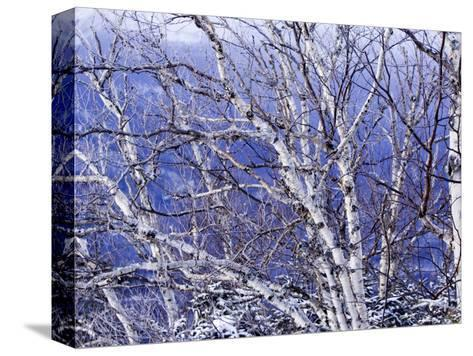 White Birch Trees-Tim Laman-Stretched Canvas Print