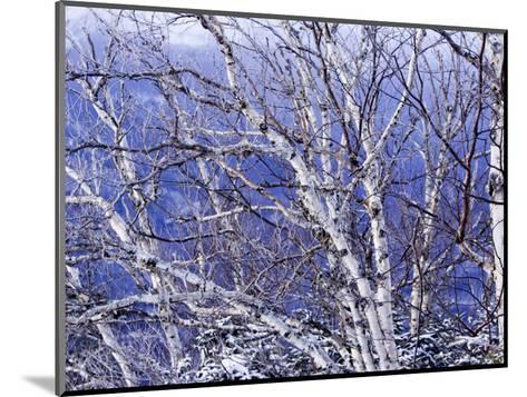 White Birch Trees-Tim Laman-Mounted Photographic Print