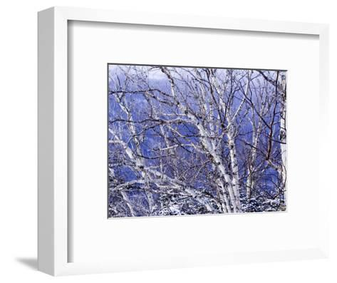 White Birch Trees-Tim Laman-Framed Art Print