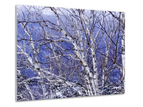 White Birch Trees-Tim Laman-Metal Print