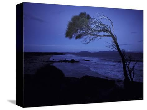 Windswept Scraggly Coastal Tree after Sunset on a Stormy Night, Australia-Jason Edwards-Stretched Canvas Print