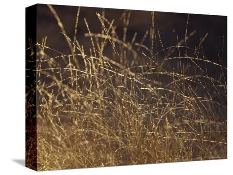Wild Native Grasses Backlit at Dawn Appear Delicate and Fragile, Australia-Jason Edwards-Stretched Canvas Print
