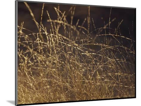 Wild Native Grasses Backlit at Dawn Appear Delicate and Fragile, Australia-Jason Edwards-Mounted Photographic Print