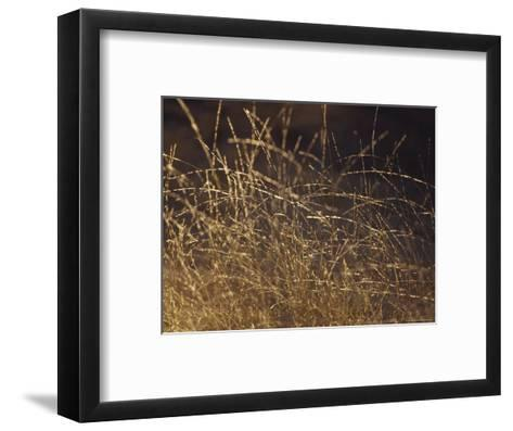 Wild Native Grasses Backlit at Dawn Appear Delicate and Fragile, Australia-Jason Edwards-Framed Art Print